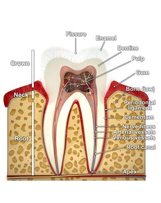 anatomy-tooth
