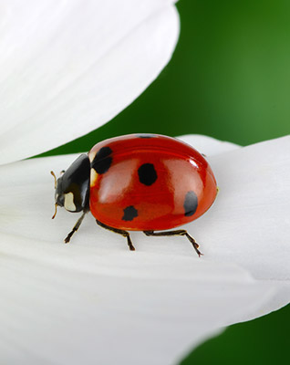flower-lady-bug