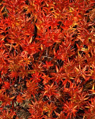rhodiola-red