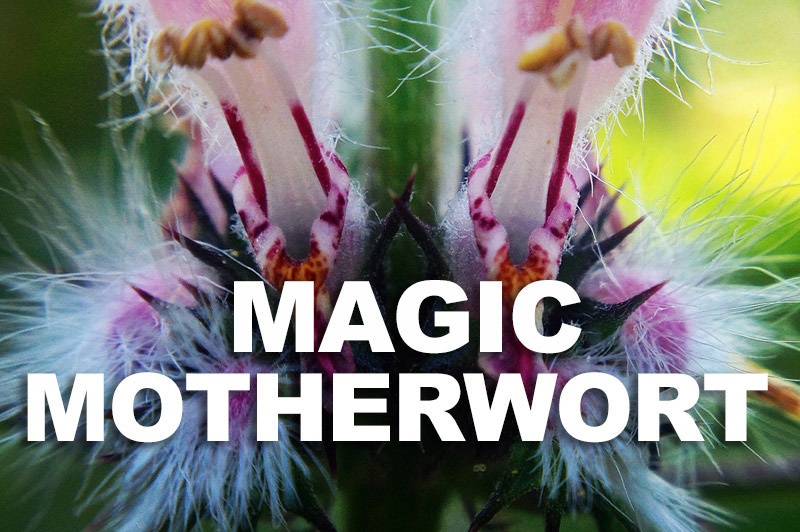 Sacred Truth Ep. 67: Magic Motherwort - calm and courage for your health