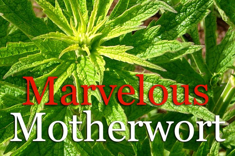 Marvelous Motherwort